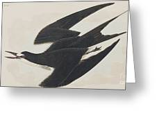 Sooty Tern Greeting Card
