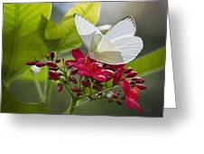 Southern White Butterfly  Greeting Card