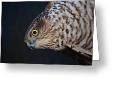 Sparrowhawk Greeting Card by Gavin MacRae