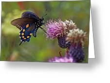 Spicebush Swallowtail On Bull Thistle Greeting Card