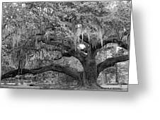 Sprawling Live Oak Greeting Card