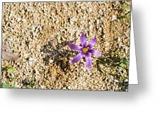 Spring Sand Crocus Flower Greeting Card