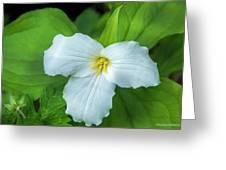Spring Trillium Greeting Card
