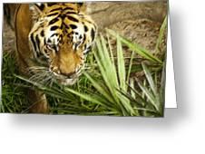 Stalking Tiger Greeting Card