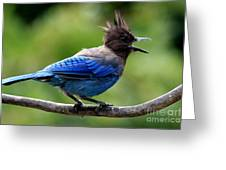 Stellers Jay Greeting Card