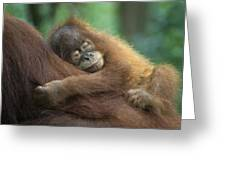 Sumatran Orangutan Pongo Abelii Two Greeting Card