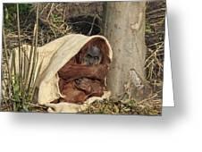 Sumatran Orangutang - Greeting Card