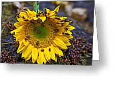Sunflower Covered In Ladybugs Greeting Card by Garry Gay