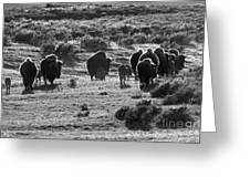 Sunset Bison Stroll Black And White Greeting Card