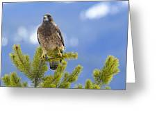 Swainson Hawk Greeting Card