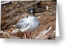 Swallow-tail Gull Greeting Card