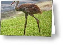 Sweet Juvenile Sandhill Crane Greeting Card