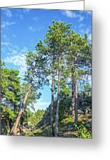 Tall Pine Trees Greeting Card
