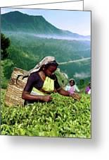 Tea Pluckers Greeting Card