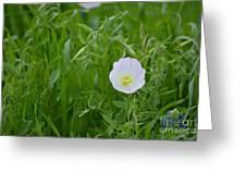 Texas Primrose  Greeting Card