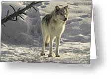 The Gray Wolf Greeting Card