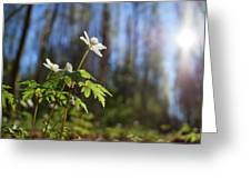 The Morning. Wood Anemone Greeting Card