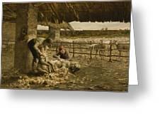 The Sheepshearing Greeting Card