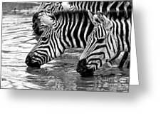 Thirsty Zebras Greeting Card