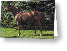 Thoroughbred Stallion Greeting Card