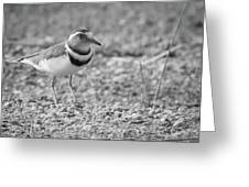 Three Banded Plover Greeting Card