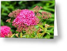 Tiny Pink Spirea Flowers Greeting Card