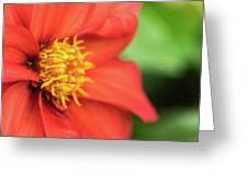 Tithonia Rotundifolia, Red Flower Greeting Card