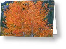 Translucent Aspen Orange Greeting Card