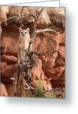 Treed Mountain Lion Greeting Card