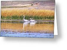 Tranquil Trumpeter Swans Greeting Card