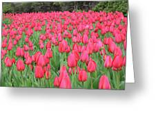 Tulip Field Greeting Card by Richard Mitchell