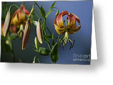 Turk's Cap Lily Greeting Card