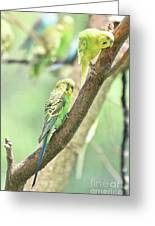 Two Adorable Budgie Parakeets Living In Nature Greeting Card