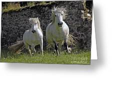 Two Highland Ponies. Greeting Card