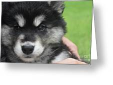 Up Close Look At The Face Of An Alusky Puppy Dog Greeting Card