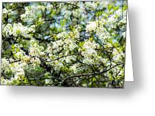 Vermont Apple Blossoms Greeting Card
