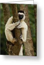 Verreaux's Sifaka Greeting Card