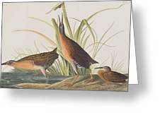 Virginia Rail Greeting Card