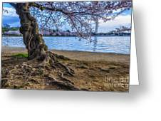 Washington Monument Cherry Blossoms Greeting Card