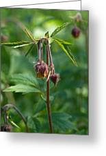 Water Avens Greeting Card