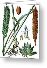 Wheat, Triticum Vulgare Greeting Card