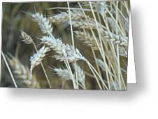 Wheats  Greeting Card