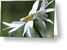 White Daisy Greeting Card