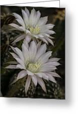 White Echinopsis Greeting Card