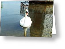 White North American Mute Swan Greeting Card by Alex Roussinov