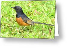 White-rumped Shama Greeting Card