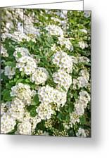 White Spiraea Flower Greeting Card