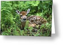 White-tailed Deer Odocoileus Greeting Card