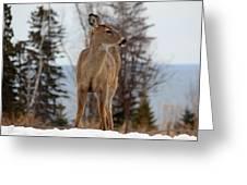 White-tailed Deer Three Greeting Card