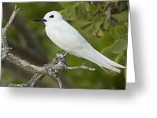 White Tern  Midway Atoll Hawaiian Greeting Card by Sebastian Kennerknecht